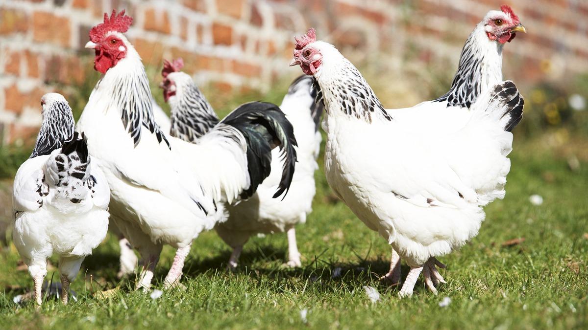 Poultry In Farmyard