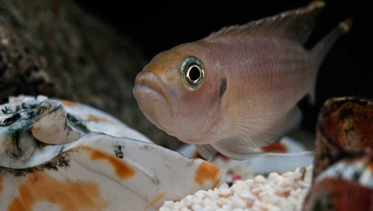 Ciklider (Cichlidae) är en familj tropiska abborrartade fiskar som är mycket vanliga akvariefiskar