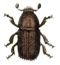 Dubbelögad bastborste, Polygraphus.poligraphus.