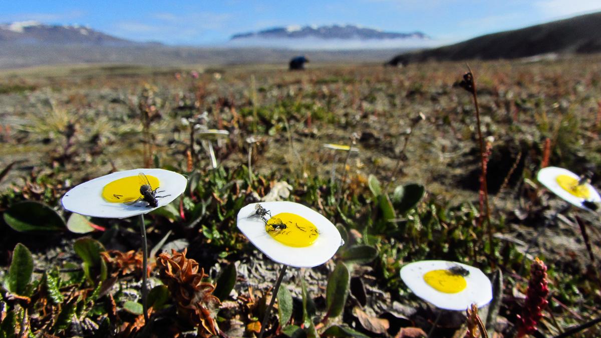 Klibbiga blomattrapper användes för att fånga insekter som pollinerar fjällsippor. Flugorna på bilden visade sig vara nyckelpollinatörer i Arktis. Foto: Malin Ek