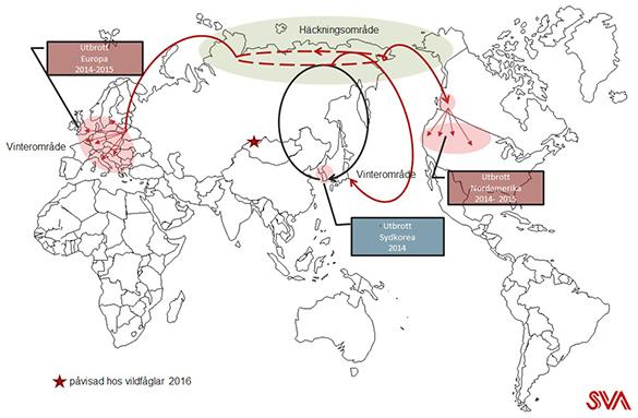 Bilden visar den globala spridningen av fågelinfluensa H5N8 genom flyttfåglars flygrutter och häckningsplatser. Bild: Siamak Zohari/SVA