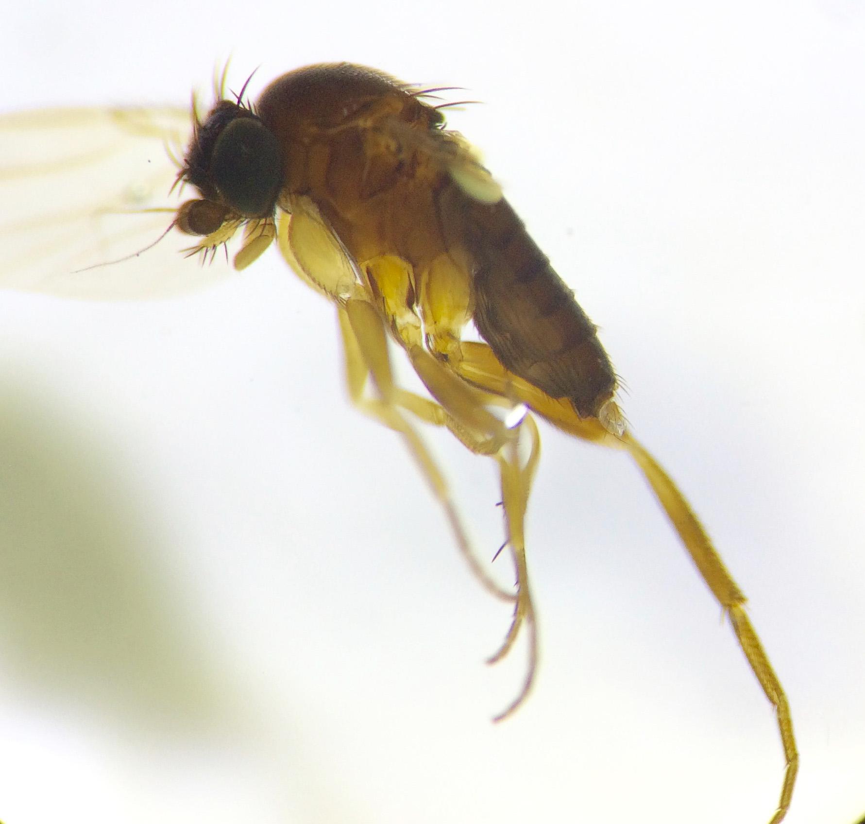 De talrika puckelflugorna hör till de minst kända insekterna i Sverige. Här en hane ur det enorma släktet Megaselia. Foto: Sibylle Häggqvist, Naturhistoriska riksmuseet
