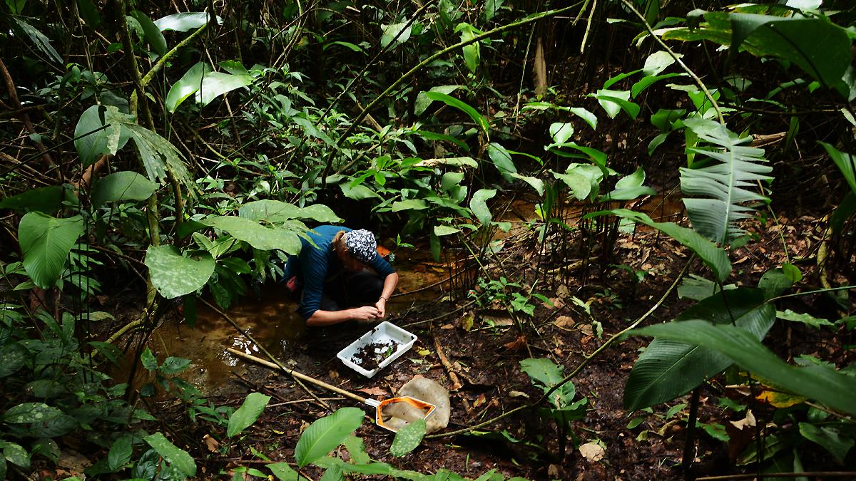 Johannes Bergsten samlar dykarbaggar i en liten bäck i Perus regnskog nära Parque Nacional del Manu i Amazonas-bäckenet. Foto: Niklas Apelqvist, Naturhistoriska riksmuseet.