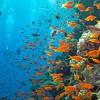 korallstim