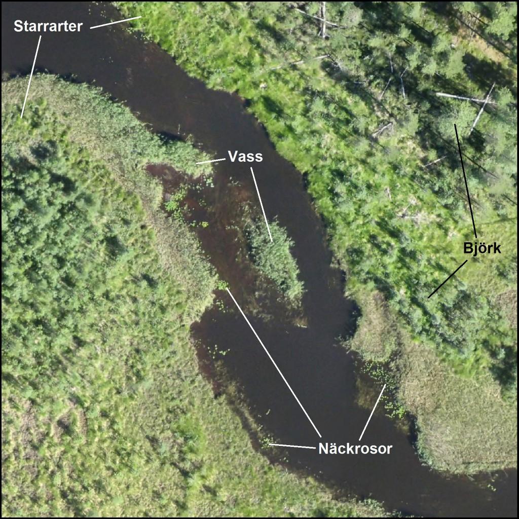 Utsnitt av en drönarbild som visar ett vattendrag och strandnära vegetation, med markering av vissa arter. Bildbearbetning: Eva Husson