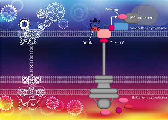 Nanofabriken. T3SS är en komplex maskin som regleras på flera olika nivåer. Likt kuggar i ett maskineri samarbetar alla delarna i systemet för att leverera effektorer in i en värdcell med syfte att blockera processer i värdcellen. Bild: Sofie Ekestubbe