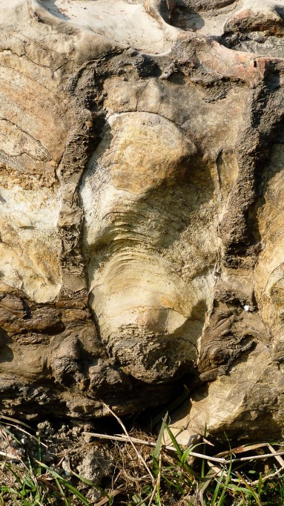 Cyanobakteriematta som bildar ca 30 cm hög pelare (stromatolit), i Chitrakoot i centrala Indien. Den ljusa bergarten är dolomit (kalciummagnesiumkarbonat), den mörka fosforit (kalciumfosfat). Rödalgerna hittades inbäddade i stromatoliterna. Foto: Stefan Bengtson, Naturhistoriska riksmuseet.