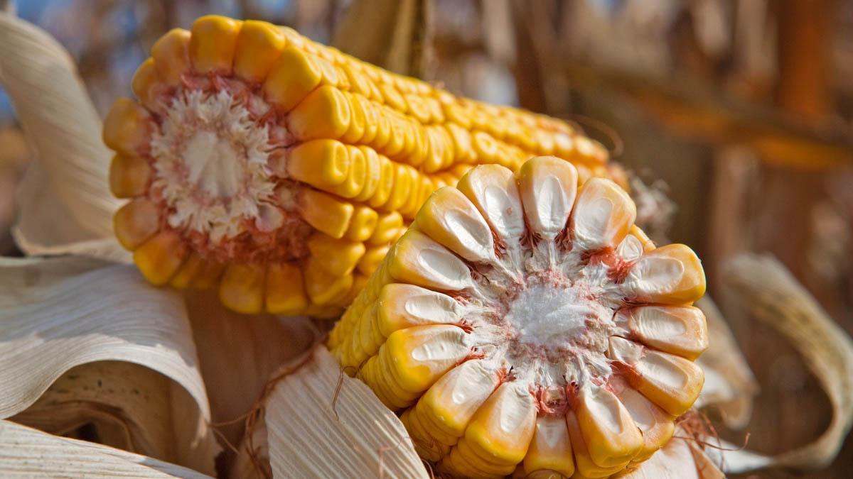 majs som trängs skapar växtskydd bladlöss