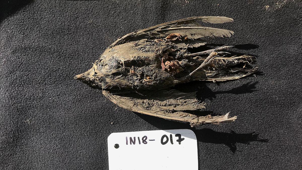 Frusen fågel var 46 000 år gammal berglärka