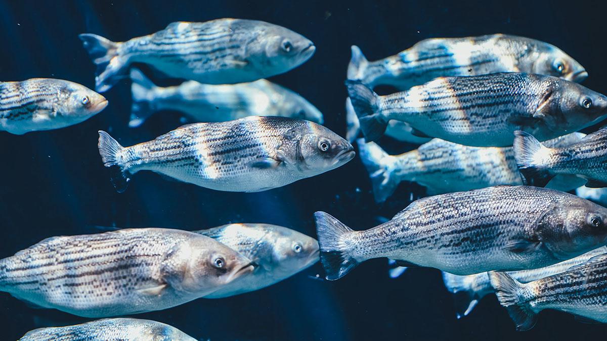 Stora fiskar växer sämre i varmare klimat