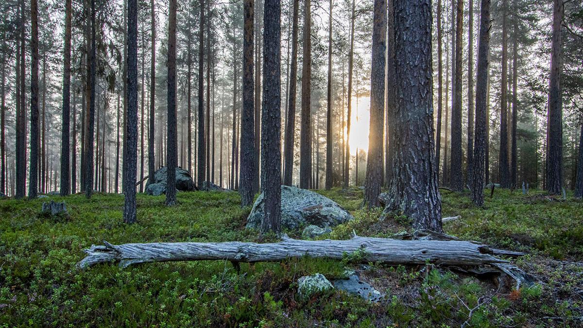 Rekordmånga träd dör av annat än avverkning