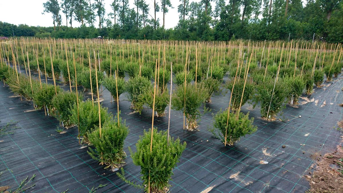 Plantering med plantor i ett rutnät där marken är täckt av markduk.