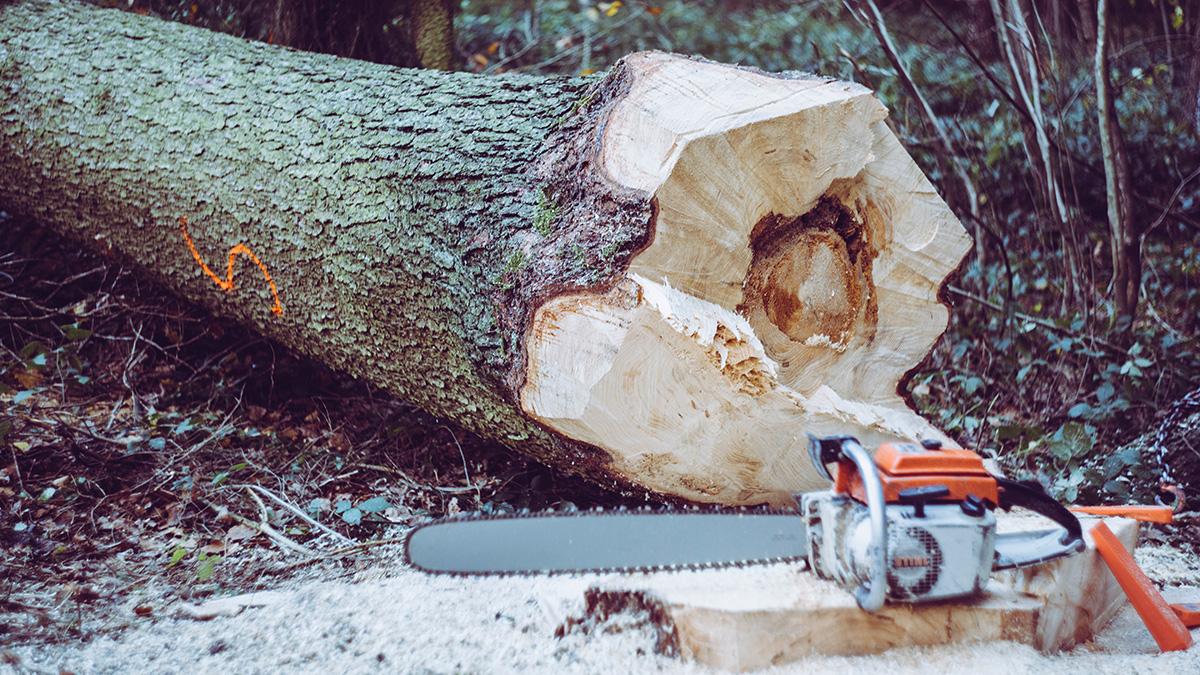 Ett fällt träd med en motorsåg framför.