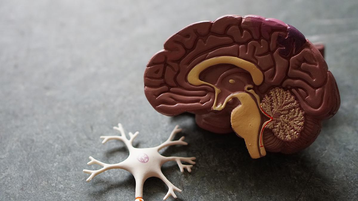 Plastmodell av hjärnan.