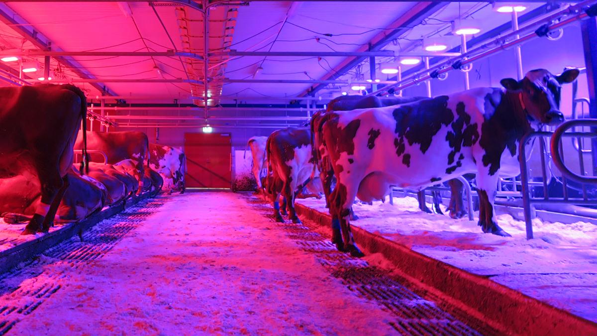 Kor i en ladugård med rött och blått led-ljus.