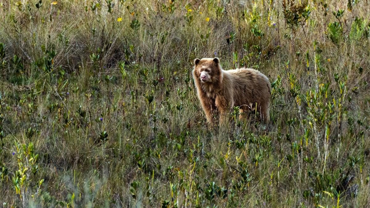 Björn med ljus päls syns på avstånd bland högt gräs