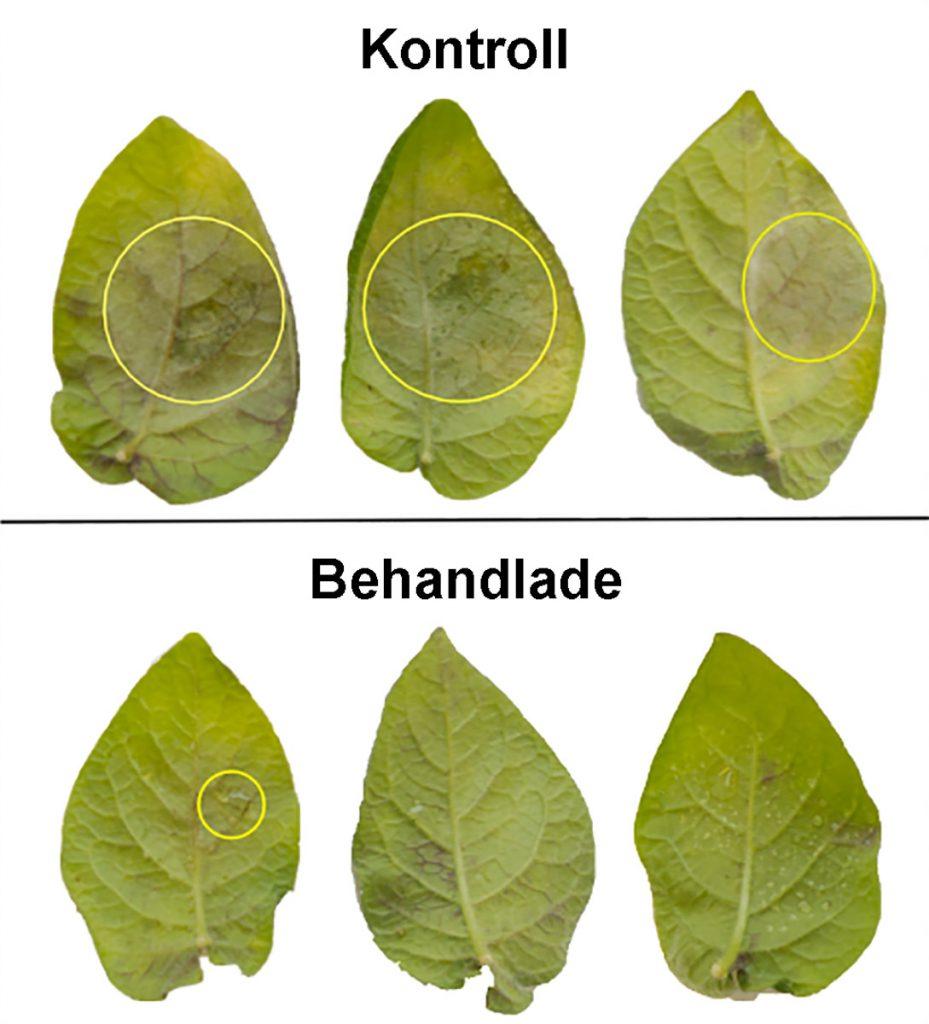 Två rader av potatisblad. Överst obehandlade blad och underrst blad som behandlats. De behandlande bladen ser mycket friskare ut.